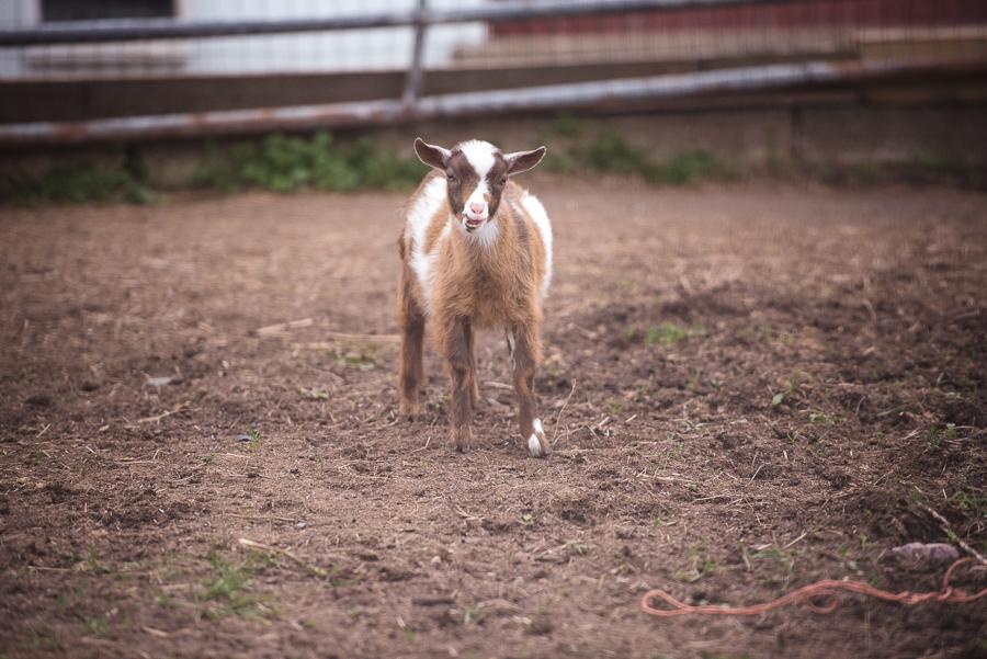 Goat Gilbertsville Farmhouse Wedding